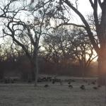 Flock of Turkeys2