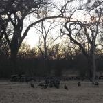 Flock of Turkey1
