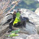 Black Iguana eating lettuce.  Fun to feed.