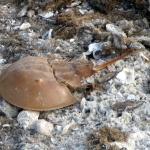 Horseshoe crab Shell from beach walk