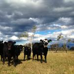 Angry skies but happy cows
