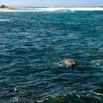 Hawaiian monk seal!