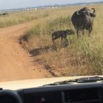 Buffalo right in front of our game drive vehicle