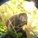 howler monkey photo taken through out guide's high powered scope