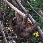 Neighboring sloth