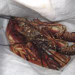 夕食の伊勢海老と蟹