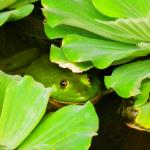 A resident frog in the pond surrounding the dining area