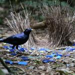 incredible bower bird