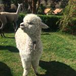 Feeding the baby alpacas