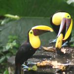 toucans at breakfast