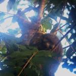 Three-toed sloth on lodge grounds