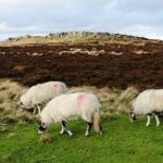 Stanage with sheep grazing