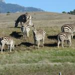 Hearst Castle zebras nearby