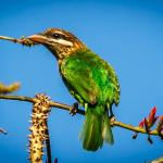 White Cheeked Barbet, endemic to western ghats