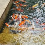 Outdoor facilities with golden fishes