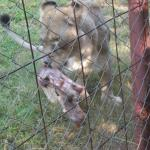 Lioness getting a bite