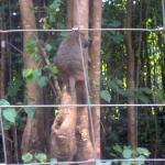 "Baboon showing skills in ""tree climbing"""