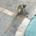 Green Monkey on Property