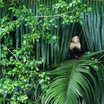 White Faced monkey on the Cano Negro adventure