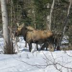 A momma moose