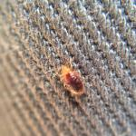 One of the many bedbugs found