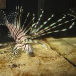 Information given on reducing the invasive lion fish population.