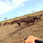 1 of the big five buffalo