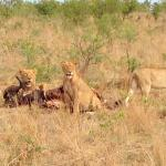 2 of the big five - lions