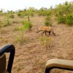 Hyena's walking past our car