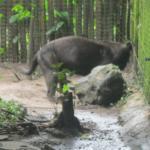 Lucky Boy, the melanistic jaguar
