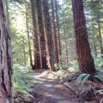 Redwood Trail 2
