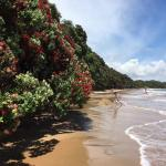 Beautiful Pohutukawa lined beach