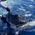 Sailfish nr 3