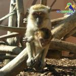 Macaco cangrejero del Zoobotánico Jerez