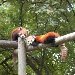 Pandas rojos del Zoobotánico Jerez