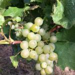 Reisling grapes