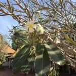 Fleur de frangipane dans un magnifique jardin ombragé au bord de l'eau