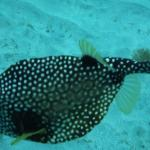 Red Hook Dive Center Puffer Fish