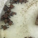 Critically endangered Hawksbill turtle hatchlings