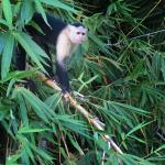 A white-faced Capuchin Monkey comes down to see our boat.