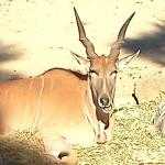 One the the Elk at the African area of the Zoo