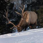 Bull elk grazing in the snow