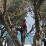 Harvesting the Olives in the grove by the beach