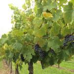 Stomp Wine Foto