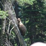 """Teen-aged"" grizzly scared up a tree by noise of wagons, horses, and dogs. First bear I've seen."