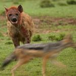 hyena and jackal