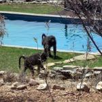 les babouins autour de la piscine