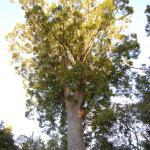 Kauri Bäume mit endemischen Pflanzen