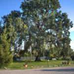 la grande quercia centenaria