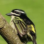 Goldbürzel-Bartvogel/Yellow-rumped Tinkerbird (Pogoniulus bilineatus mfumbiri), Nkuringo, Bwindi
